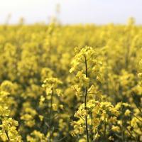 Семена рапса СИ Харнас (Сингента) купить в Украине, описание гибрида, отзывы, цена, доставка