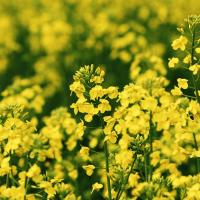 Семена рапса СИ Мартен (Сингента) купить в Украине, описание гибрида, отзывы, цена, доставка
