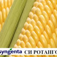 кукурудза гібрид СІ Ротанго фото