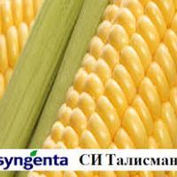 кукурудза гібрид СІ Талісман фото