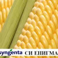 кукурудза гібрид СІ Енігма фото