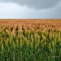 Гібрид Сорго Силос BMR купити насіння