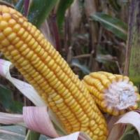 Посевная кукуруза семена гибрид Солонянский 298 СВ описание характеристика цена купить в Украине