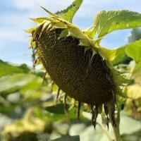 Семена Подсолнечника Солтан от Агроэксперт-Трейд