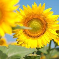 Подсолнечник гибрид Сонячный Настрий купить семена