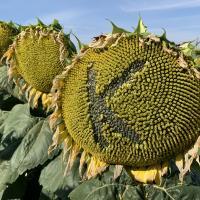 Семена Подсолнечника Карлос - 105, Карлос - 115 от Агроэксперт-Трейд