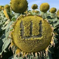 Семена Подсолнечника Шенон от Агроэксперт-Трейд