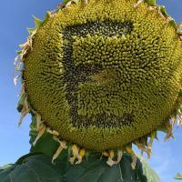 Семена Подсолнечника Эверест от Агроэксперт-Трейд
