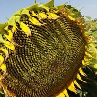 Семена Подсолнечника СПК от Агроэксперт-Трейд