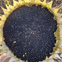 Семена Подсолнечника Белочка от Агроэксперт-Трейд