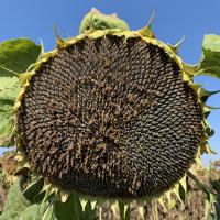 Семена Подсолнечника ПРОМЕТЕЙ от Агроэксперт-Трейд