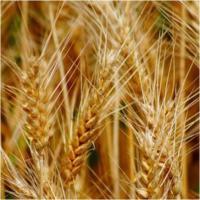 Семена пшеницы Недра от Агроэксперт-Трейд