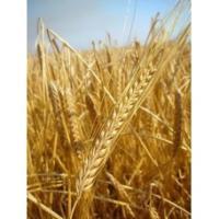 Посевной яровой ячмень семена сорт Сталкер описание характеристика цена купить в Украине