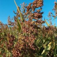 На фото суданская трава сорт Мироновское-10