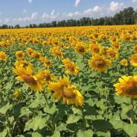 Семена Подсолнечника Сулико от Агроэксперт-Трейд