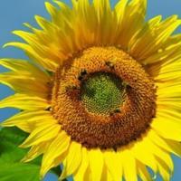 Соняшник Суматра гібрид опис