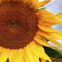 Соняшник НК Ферті купити насіння в Україні