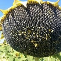 Соняшник Сі Арко купити насіння