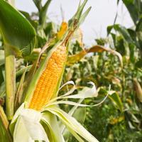 кукуруза гибрид СИ Чоринтос фото