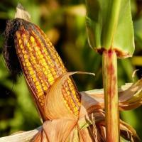 Кукурудза СІ Орфей опис гібрида