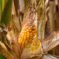 Кукуруза СИ Скорпиу в Украине