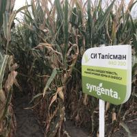 кукурудза гібрид СІ Талісман в Україні