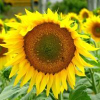 Соняшник гібрид Талон купити насіння