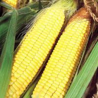 кукуруза гибрид НК Пако в Украине