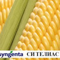 кукурудза гібрид СІ Телиас фото