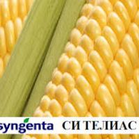 кукуруза гибрид СИ Телиас фото