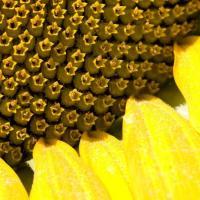 Семена подсолнечника Тибо