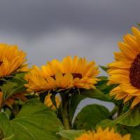 Насіння соняшнику Толедо