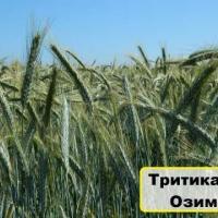 Насіння тритикале озимого сорт Гарне купити в Україні