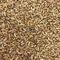 насіння твердої пшениці