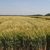 Посевная озимая пшеница семена сорт Гардемарин описание характеристика цена купить в Украине