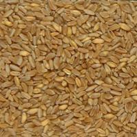Посевная озимая пшеница семена сорт Таврида описание характеристика цена купить в Украине