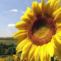 Подсолнечник гибрид Украиский F1 купить семена