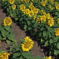 Подсолнечник гибрид Украинский скороспелый купить семена