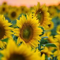 Подсолнечник гибрид Украинское солнышко купить семена