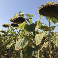 Семена Подсолнечника Украинское солнышко от Агроэксперт-Трейд