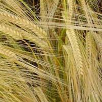 Посевной яровой ячмень семена сорт Вакула описание характеристика цена купить в Украине