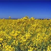 Насіння ріпаку Вектра купити в Україні, опис гібрида, відгуки, ціна, доставка