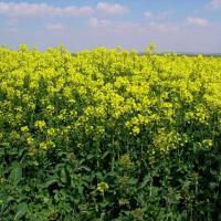 Семена рапса Венди (Заатбау) купить в Украине, описание гибрида, отзывы, цена, доставка