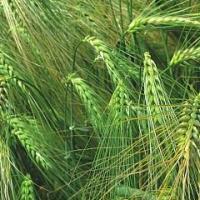 Посевной озимый ячмень семена сорт Луран описание характеристика цена купить в Украине