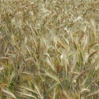 Посівний озимий ячмінь насіння сорт Аполлон опис характеристика ціна купити в Україні
