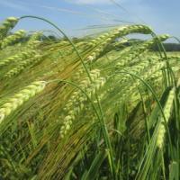 Посевной озимый ячмень семена сорт Атлант описание характеристика цена купить в Украине