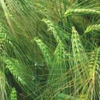 Посівний озимий ячмінь насіння сорт Ковчег опис характеристика ціна купити в Україні