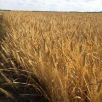 Посівний озимий ячмінь насіння сорт Селена Стар опис характеристика ціна купити в Україні