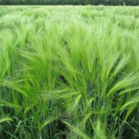 Посевной озимый ячмень семена сорт Сейм описание характеристика цена купить в Украине