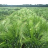 Посевной озимый ячмень семена сорт Паладин описание характеристика цена купить в Украине